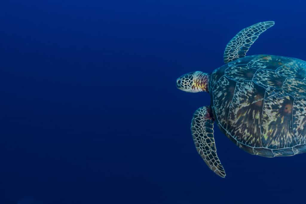 Green Sea Turtle or Hawksbill Sea Turtle - Palau