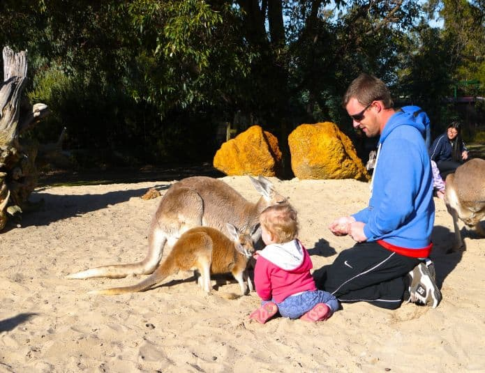 dad and child feeding kangaroos at zoo